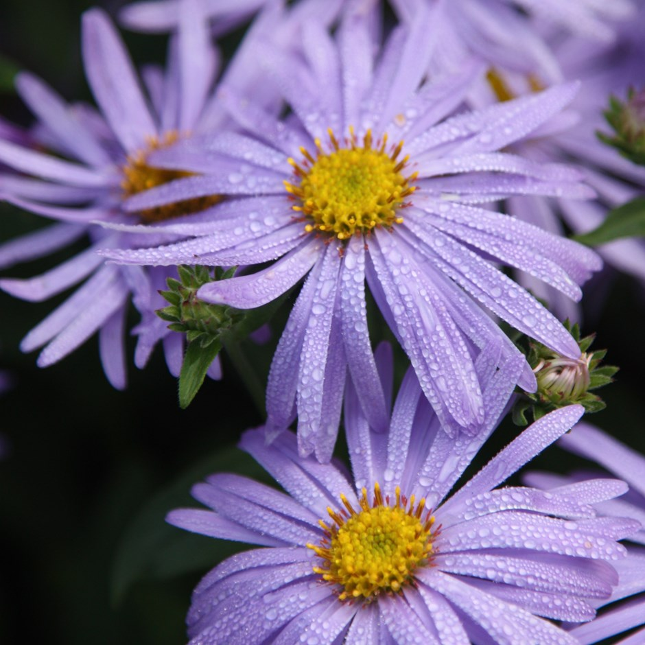 Asters offer Dorset garden designers autumn colour