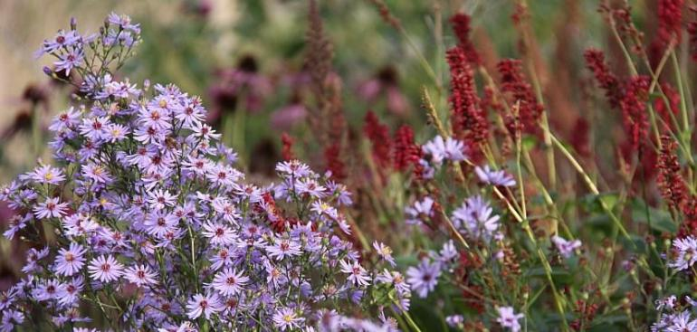 Asters and Sanguisorba