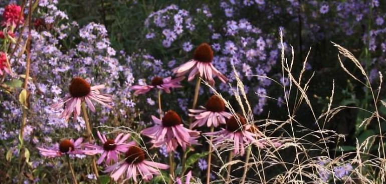 Echinacea and Asters